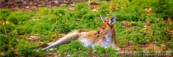 Just Chillin, Yanchep National Park, Perth, Western Australia